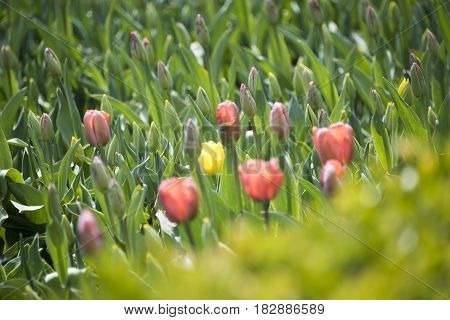 flowers, flower concept, beautiful spring flowers, spring flower tulips, tulip red  spring flowers, flowers with green leaves and blurry background, flowers of spring, tulips of the spring, red flowers,