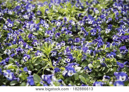 Flowers of the spring. Beautiful spring flowers. Spring blue flower. Flowers with green leaves and blurry background. Spring flowers. Sumer flowers.