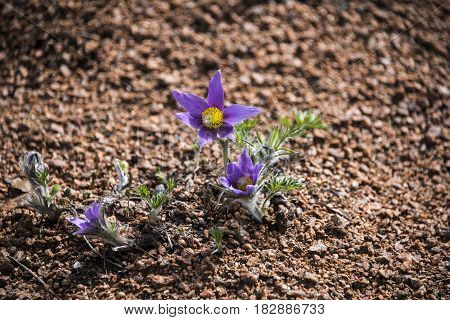 Beautifully blossoming pasque flower and sun with a natural ground background