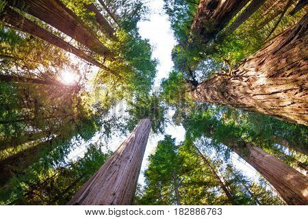 Sunbeams penetrating to the depths of the Redwood National Park through the branches of huge sequoias, bottom view