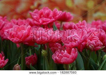 Purple Fresh Tulip Flowers With Green Leaves
