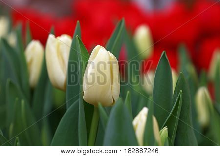 White Fresh Tulip Flowers With Green Leaves