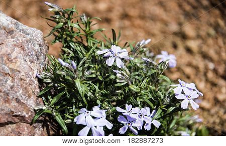 flowers, flowers concept, pink flowers, viola flowers, Blue sky flowers on stone and blurry brown background, purple flowers with blurry background, white and purple flowers on branch, spring flower