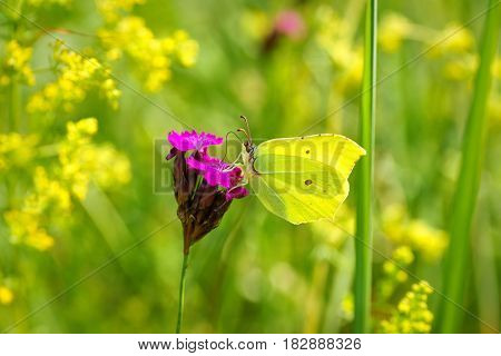 Common Brimstone (Gonepteryx rhamni) butterfly drinking nectar from the yellow flowers