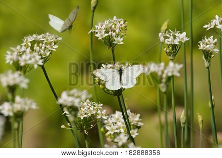 Butterflies (Pieridae) white insects on white flowers of garlic