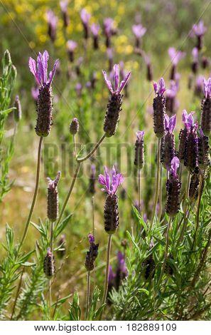 A Lavender field under warm spring sunlight
