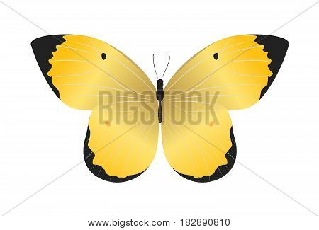 Isolated beautiful butterfly on white background. Yellow and black colors.