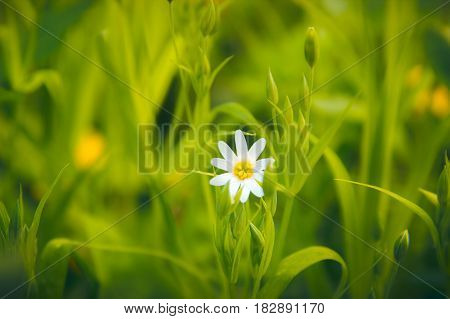 Daisy background of herbs. Lonely wild camomile on a background of green grass