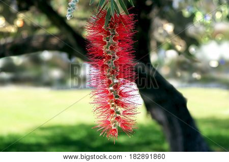 The weeping bottlebrush (Calistemon viminalis) tree with red flowers