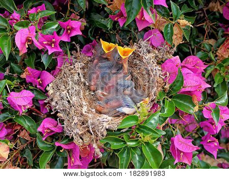 Nest with tree northern mockingbird chicks in a Bougainvillea plant
