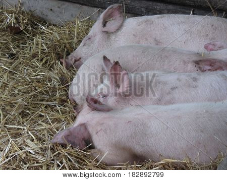 Pink piglets lying down on straw .