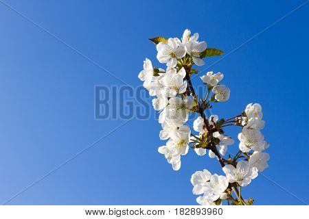 Brunch Of Apple Blossoms Against A Blue Sky
