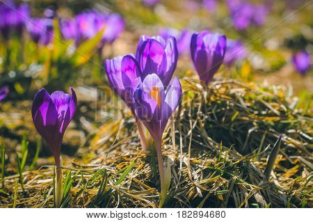 Mountain snowdrop flowers in the carpathian landscape