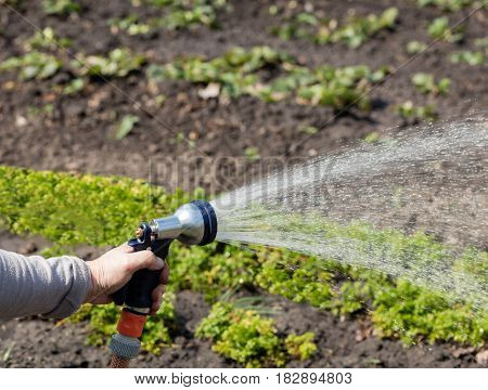 Watering the garden with a watering can gardener holds a hose for sprinklers for irrigation installations.