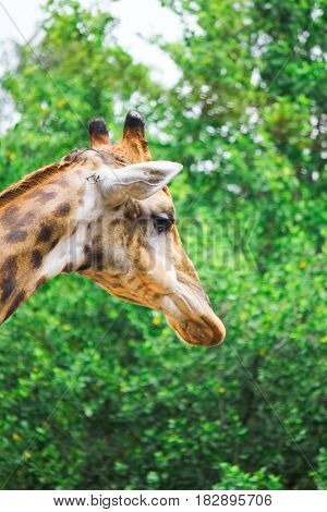 The giraffe (Giraffe) is an animal with extremely long neck and legs
