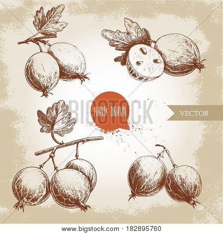 Hand drawn sketch style set of gooseberries. Gooseberries branch with leaf group of gooseberries and sliced berries. Healthy berry vintage vector illustration.