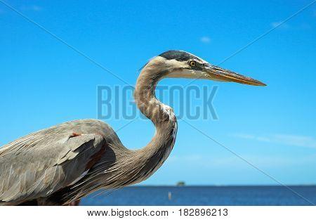 Great Blue Heron(Ardea herodias) in crystal beach Tampa Florida