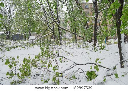 Chisinau Republic of Moldova - April 20 2017: Tree branch with green spring leaves broken by heavy snow in dormitory area. The Snow Cyclone.