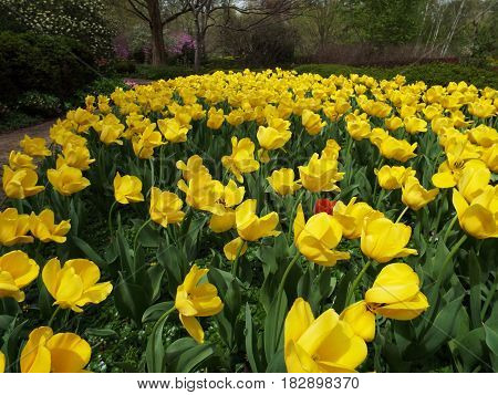 A bed of tall yellow tulips flowers.