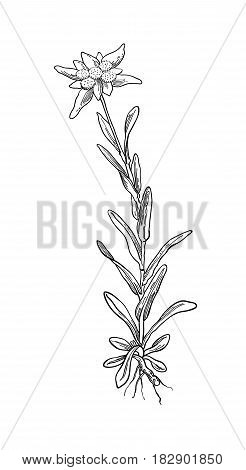 Black silhouette outline edelweiss leontopodium flower, the symbol of alpinism, with stalk and leaves, isolated on white. Vector botanical illustration