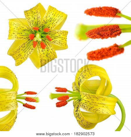 Yellow Asiatic Lily Flower Isolated On White