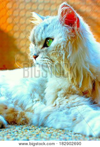 Beautiful Persian Cat Up Close Laying Down