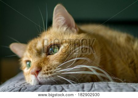 Orange Tabby Cat With Green Eyes Closeup