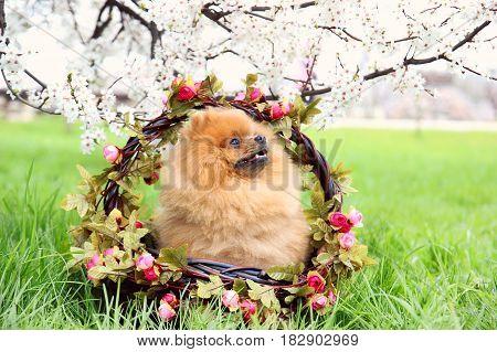Pomeranian dog in a wooden basket . Cute, beautiful dog