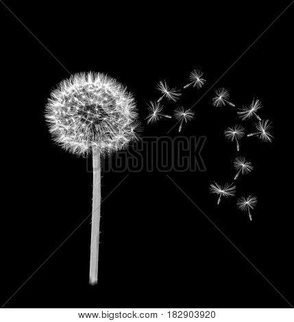 Macro view of a Dandelion with seed heads blowing in the wind on a black background.