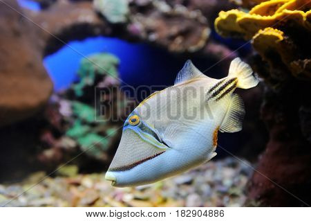 Picasso Triggerfish and coral in the Red Sea.