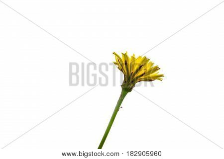 Dandelion flower underside selective focus isolated on white