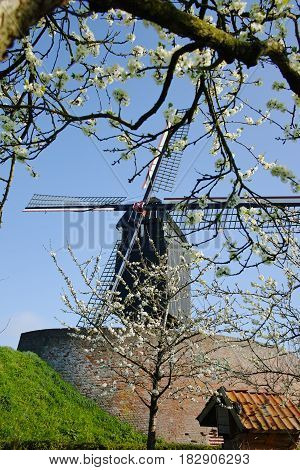 Old windmill in Netherlands spring season blossom tree