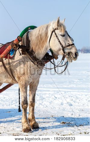 White horse with harness in winter sunny day