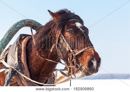 Head of brown horse with harness in winter sunny day. Riding on a horse