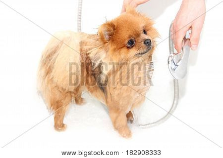 A pomeranian dog taking a shower with soap and water. Dog on white background. Dog in bath. Well groomed dog