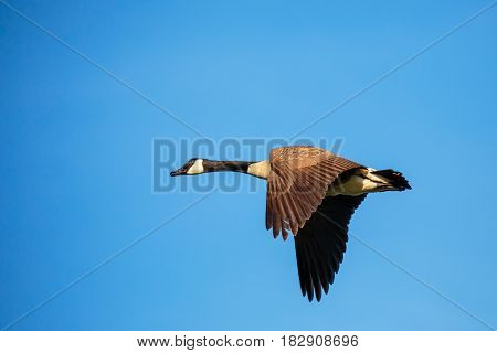 Single Canada Goose (branta canadensis) flying in a blue sky