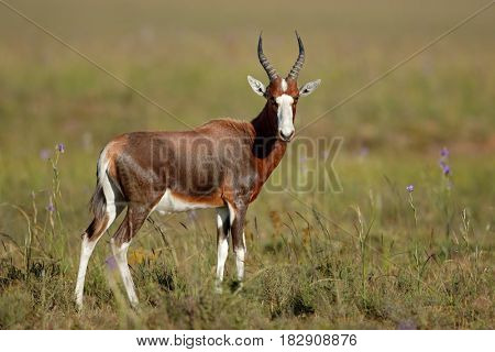 A blesbok antelope (Damaliscus pygargus) in natural habitat, South Africa