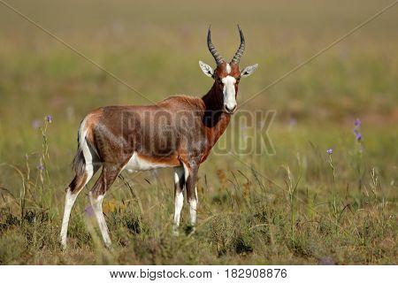 A blesbok antelope (Damaliscus pygargus) in natural habitat, South Africa