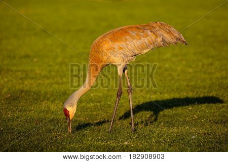 Sandhill Crane (Grus canadensis) eating in a green field