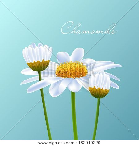 Beautiful background with pretty white camomile. Vector.