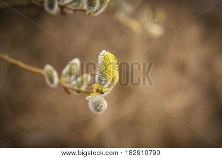 A Branch Of Pussy-willow With Fresh Fuzzy Buds In Spring