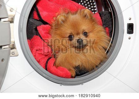 Dog sitting in a washing machine. Pomeranian orange spitz on white background. Laundry