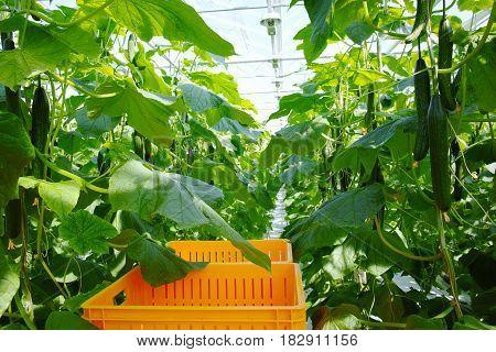 Tasty organic green cucumbers plants growth in big Dutch greenhouse everyday harvest