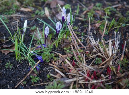 Several Still Not Opened Crocuses In Springtime