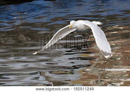 European Herring Gull (Larus argentatus) in flight above a Town Canal