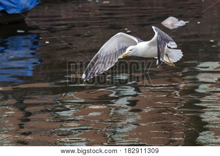Lesser Black-backed Gull (Larus fuscus) adult in flight above water of a Town Canal