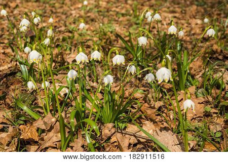 Appearence Of Young White Spring Flowers From Under Last Year`s Dry Leaves