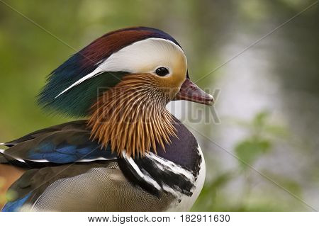 Mandarin Duck (Aix galericulata) drake portrait standing on the Quayside of a small Canal between the vegetation