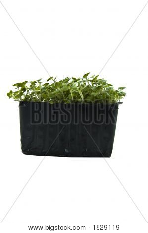 Cress In Punnet