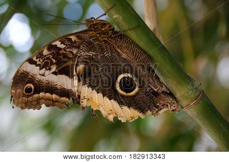 Giant Owl Butterfly On Bamboo Trunk